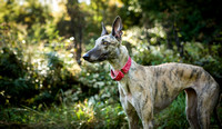 Dog - Greyhound - Photography