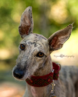 Dog - Galgo - Photography