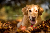 Dog - Golden Retriever - Photography