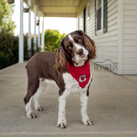 Dog - Springer Spaniel - Photography