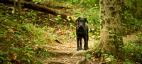 Dog - Labrador - Photography